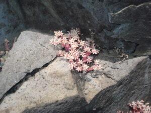Etna fioritura di Sedum